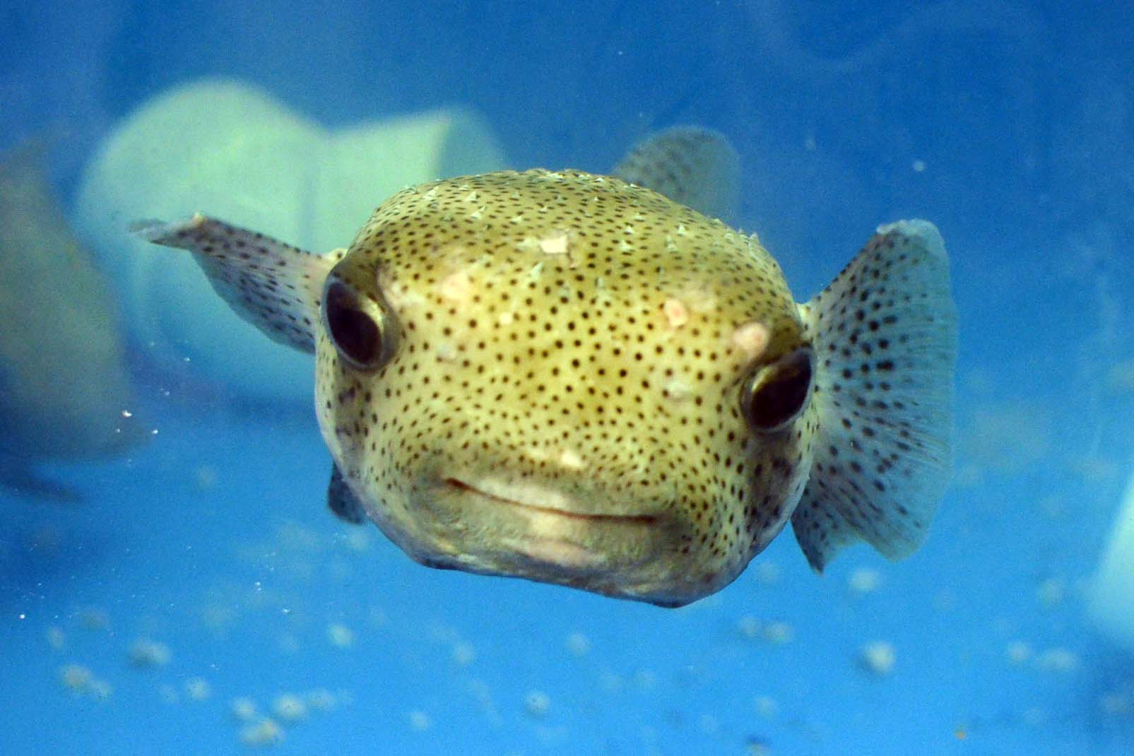 1 environment nature tess malijenovsky for Porcupine puffer fish