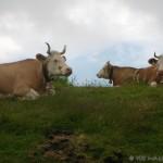 Swiss Bull