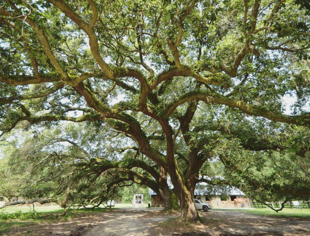 oak tree huspa plantation dose of nature
